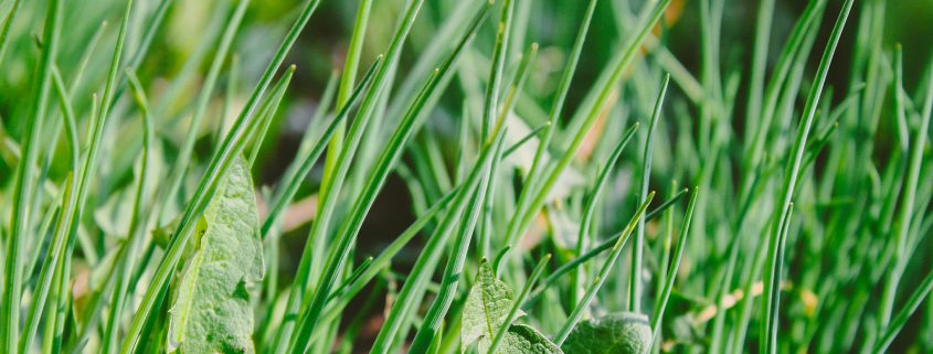 A photo of dandelion plant growing in amongst long green grass